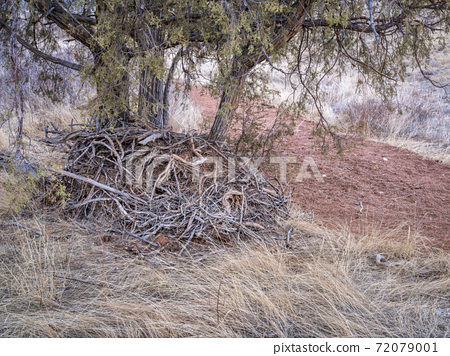 juniper tree and a pile of driftwood at a dry bottom of sand wash 72079001