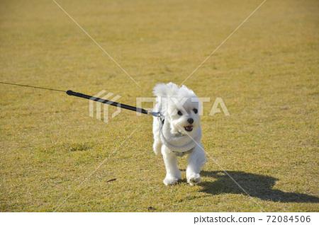 散步的小狗(Martinee) 72084506