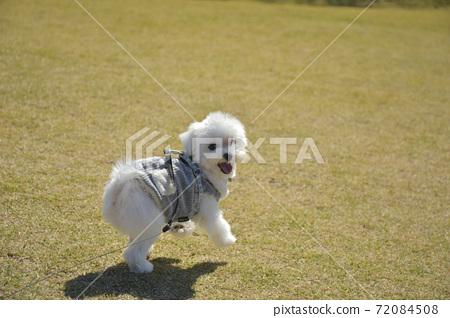 散步的小狗(Martinee) 72084508