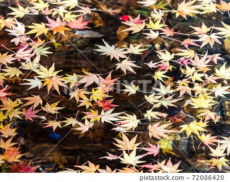 輕井澤恩巴池塘的美麗景色:明亮的秋葉漂浮在水面上 72086420