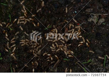 害蟲白蟻幼蟲 72087734