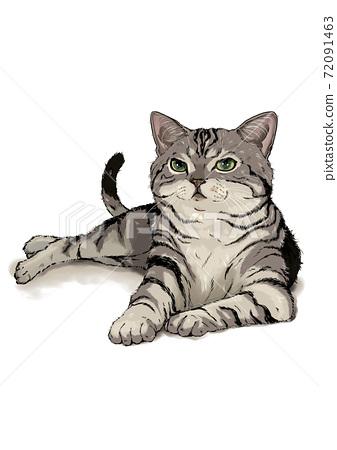 American shorthair cat 72091463