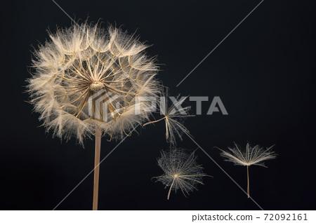 Dandelion seeds flying next to a flower on a dark background 72092161
