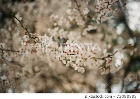 벚꽃 필름사진 72098585