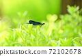 黑水蜻蜓在藍色的森林 72102678