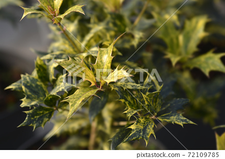 Holly osmanthus Tricolor 72109785