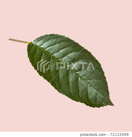 Close up view of natural textured green leaf of a cherry tree on a pink background. 72112099