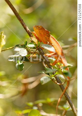 Parson's chameleon (Calumma parsonii) 72125508