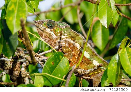 panther chameleon, Masoala madagascar wildlife 72125509