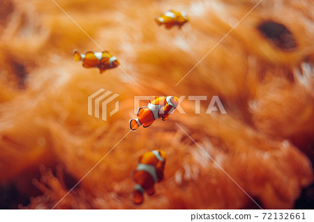 Clownfish. fish of orange color in anemones in the underwater world 72132661