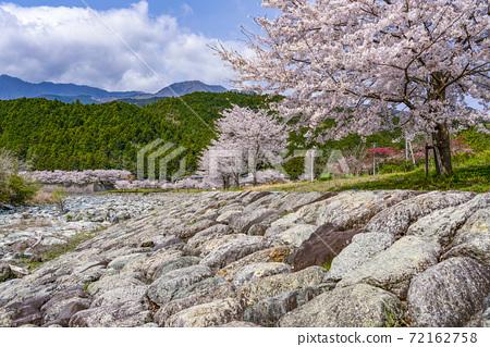 一排河邊的櫻花樹(To川水上樂園) 72162758