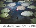 연못에 피어난 연꽃과 연잎 72165398