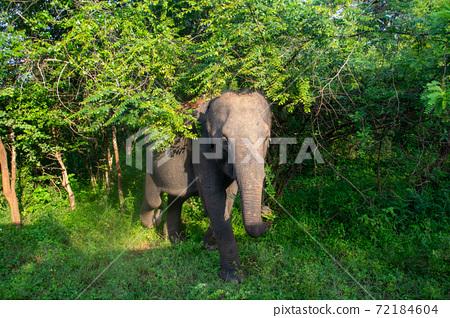 斯里蘭卡亞拉國家公園的野生大象接近 72184604