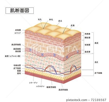 皮膚 人體皮膚 矢量 72189387