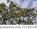 감나무 72190138