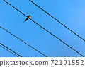Swallow sitting on wires of power lines under blue sky. 72191552