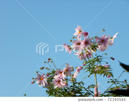 聳立在藍天桃子開花的Coty daria 72193583