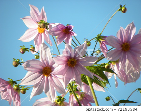 聳立在藍天桃子開花的Coty daria 72193584