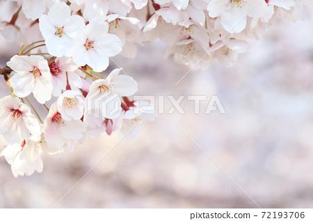 만개 한 벚꽃 (오른쪽 복사 공간 있음) 72193706