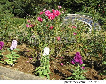 해시계의 앞에 화단에 분홍색의 예쁜 장미 꽃 72194552
