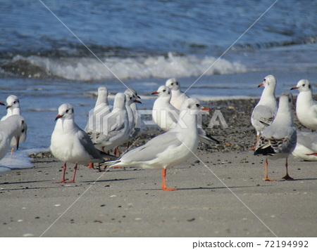 稲毛海岸의 해변에서 휴식하는 겨울 철새 유리카모메 72194992