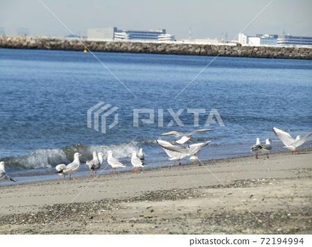 稲毛海岸의 해변에서 휴식하는 겨울 철새 유리카모메 72194994