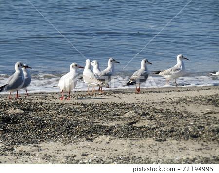 稲毛海岸의 해변에서 휴식하는 겨울 철새 유리카모메 72194995