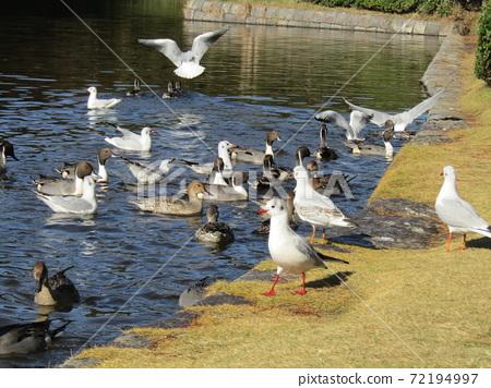 이나 게 해변 공원의 연못은 겨울 철새 유리카모메와 고방 오리 72194997