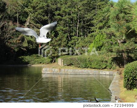 이나 게 해변 공원의 연못은 겨울 철새 유리카모메 72194999