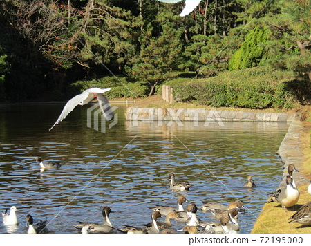 Winter migratory birds, black-headed gulls and pintails, in the pond of Inage Seaside Park 72195000