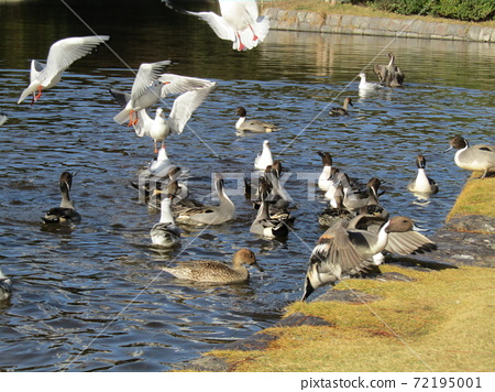 Winter migratory birds, black-headed gulls and pintails, in the pond of Inage Seaside Park 72195001