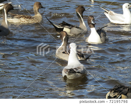이나 게 해변 공원의 연못은 겨울 철새 유리카모메와 고방 오리 72195798
