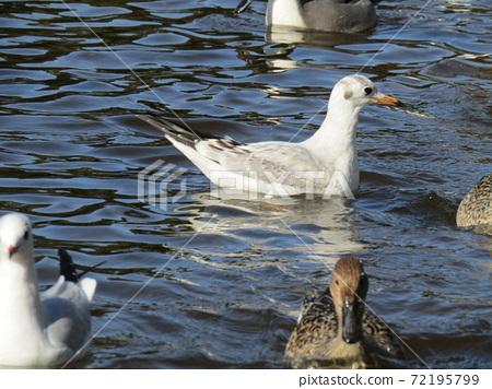 이나 게 해변 공원의 연못 겨울 철새 유리카모메와 고방 오리 72195799