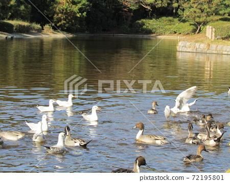 이나 게 해변 공원의 연못 겨울 철새 유리카모메와 고방 오리 72195801