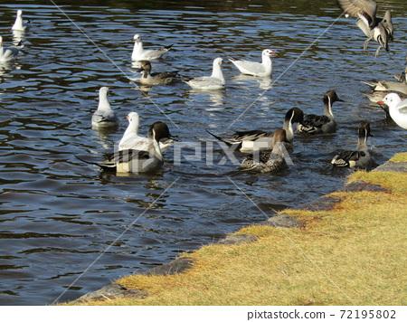 이나 게 해변 공원의 연못 겨울 철새 유리카모메와 고방 오리 72195802
