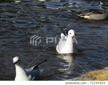 이나 게 해변 공원의 연못 겨울 철새 유리카모메와 고방 오리 72195803