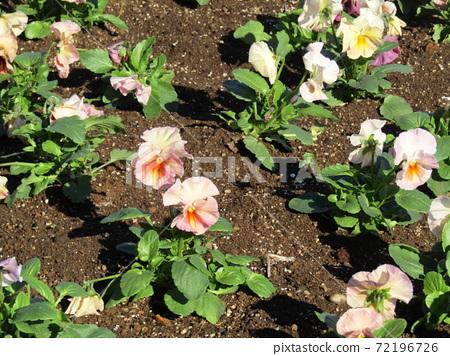 삼양 메데아 꽃 박물관 앞마당의 흰 꽃 비올라 72196726