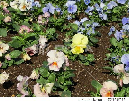 삼양 메데아 꽃 박물관 앞마당 파란색과 노란색과 흰색 꽃 비올라 72196735