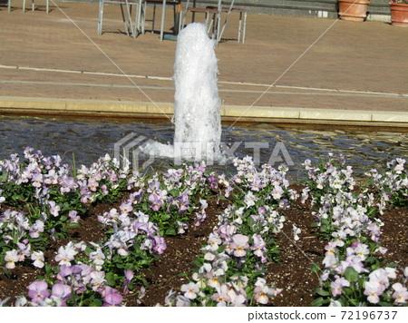 삼양 메데아 꽃 박물관 앞마당 하늘색 꽃 비올라 72196737