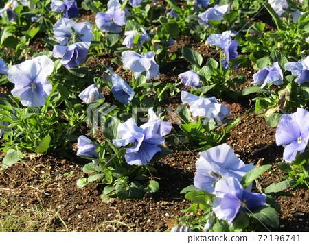 삼양 메데아 꽃 박물관 앞마당 하늘색 꽃 비올라 72196741