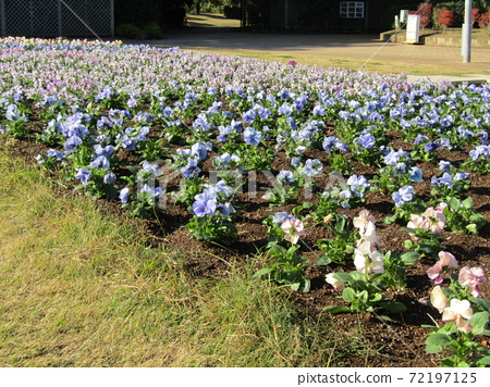 삼양 메데아 꽃 박물관 앞마당 파란 꽃 비올라 72197125