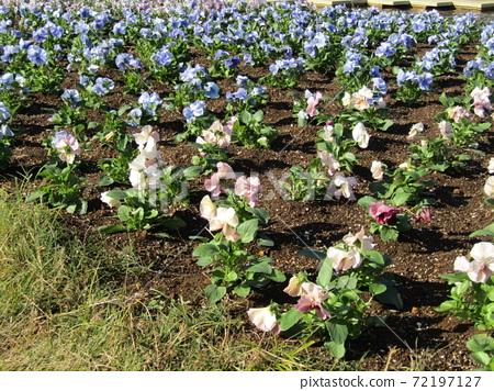 삼양 메데아 꽃 박물관 앞마당 흰색과 파란색 꽃 비올라 72197127