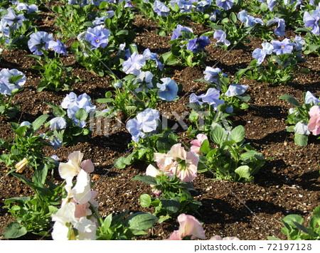 삼양 메데아 꽃 박물관 앞마당 흰색과 하늘색의 꽃 비올라 72197128