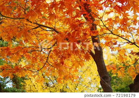 Maple tree 72198179