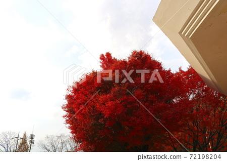 단풍나무 72198204