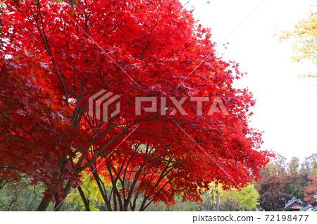 단풍나무 72198477