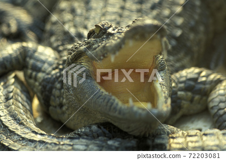 CAMBODIA SIEM REAP CROCODILE FARM 72203081