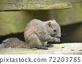 泰國一隻松鼠吃葵花籽1 72203785