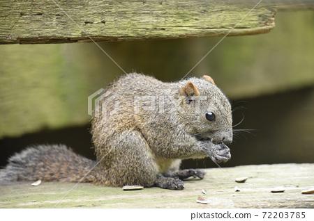Thai one squirrel eating sunflower seeds 1 72203785