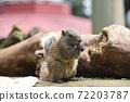 泰國一隻松鼠吃葵花籽2 72203787